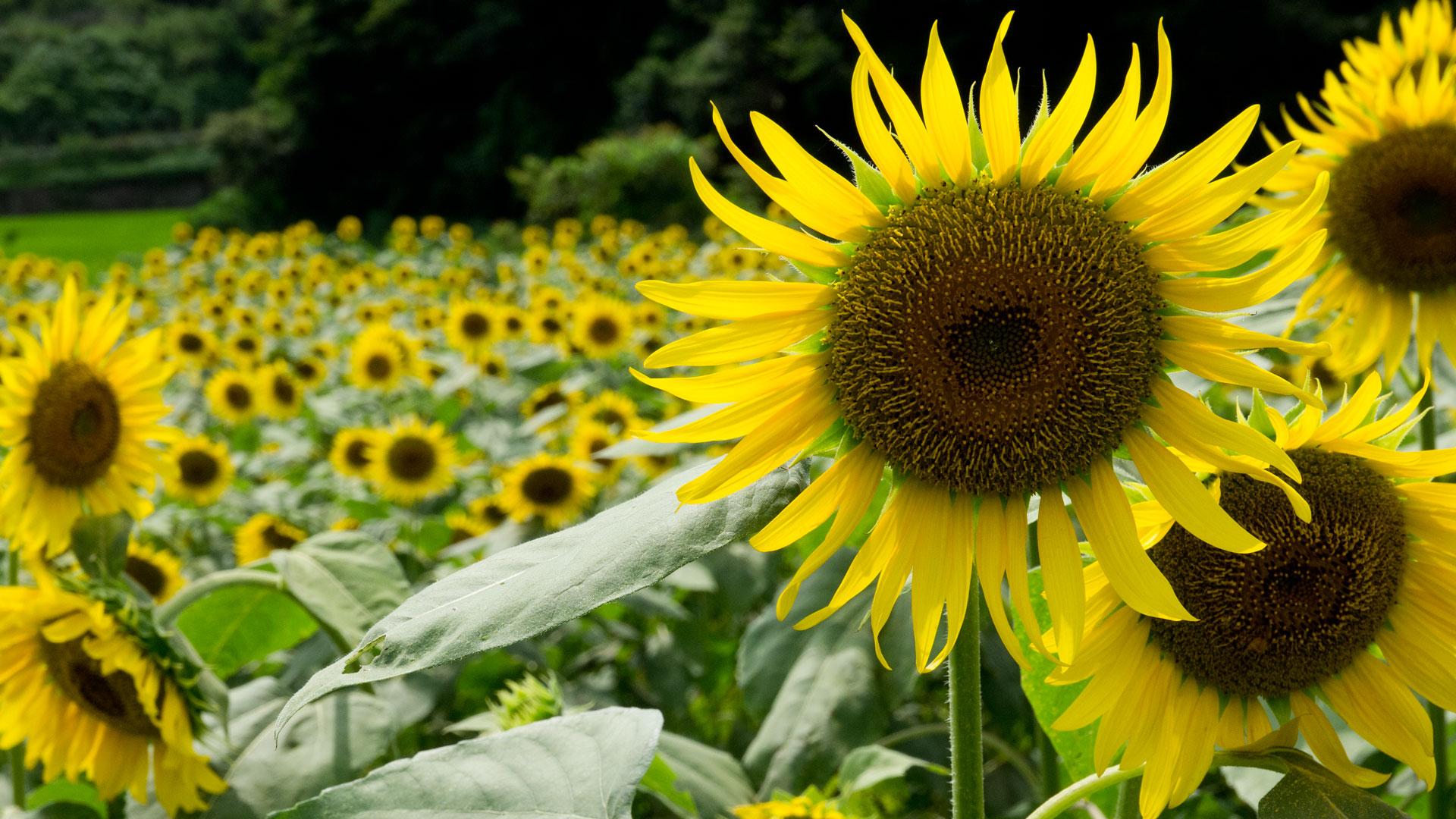 夏の花 ひまわり 太陽に向かってのデスクトップ壁紙 ワイド画面 1920 1080