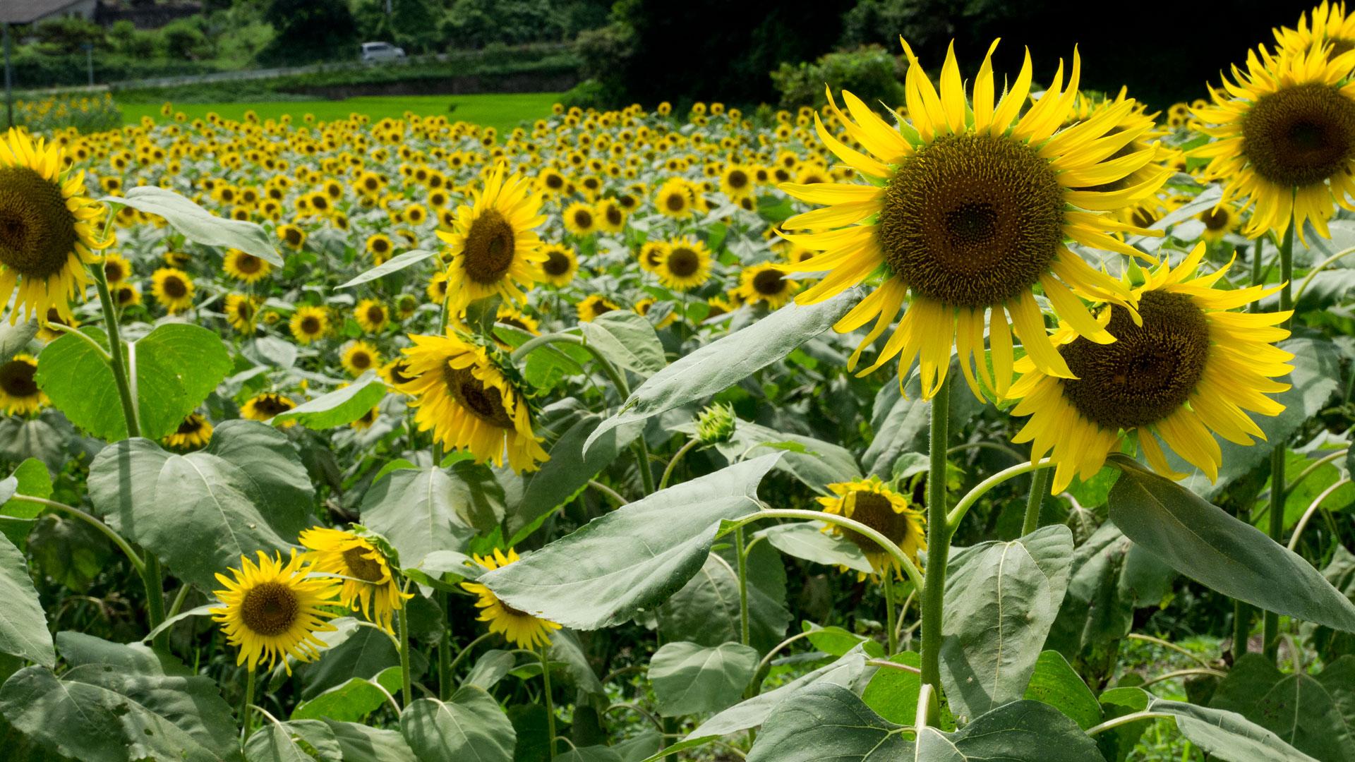 夏の景色 向日葵畑のデスクトップ壁紙 ワイド画面 1920 1080